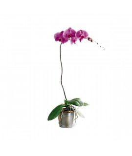 The Lavender Phalaenopsis Orchid