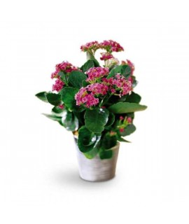 The Kalanchoe